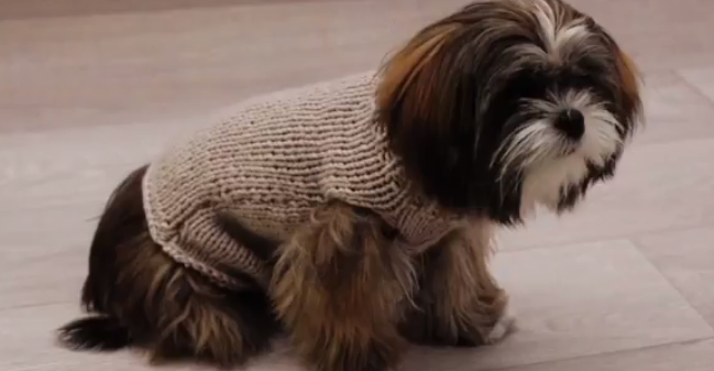 tuto tricot pour yorkshire